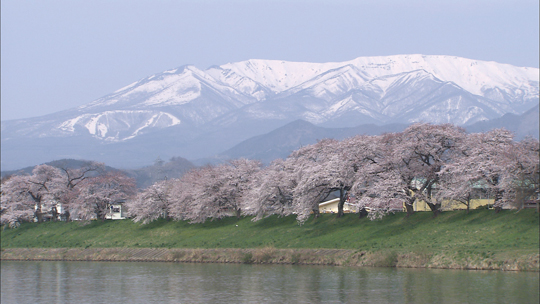 春_桜と雪(一目千本桜).jpg