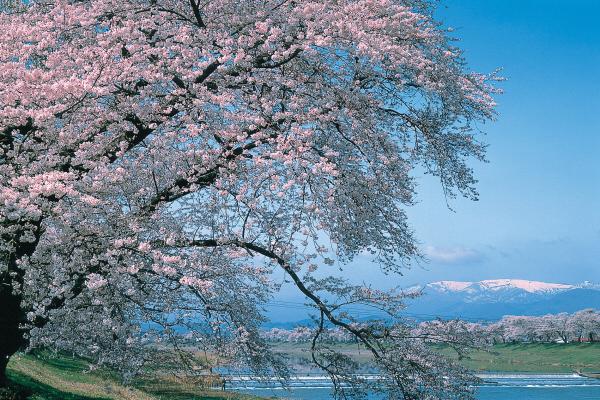 서브04_히토메센본자쿠라.jpg