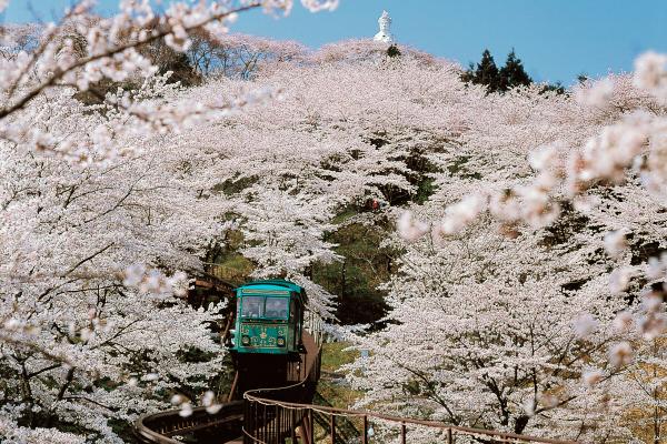 서브02_후나오카성터공원_벚꽃.jpg